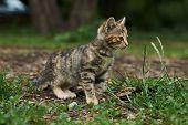 Little Playing Kitten, Outdoors. Playful Gray Kitten poster