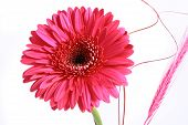 Pink Flower On A White Background...
