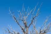 Branches Of Dead Pinyon Tree Against Blue Sky