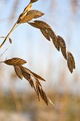 picture of sabbatical  - Full frame close up of sea oats - JPG
