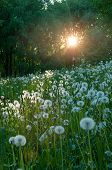 Forest Summer Landscape. Summer Forest Trees And White Fluffy Summer Dandelions On The Foreground Un poster