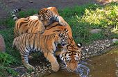 tiger cubs with their mom