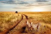 Group Of Cheetah In The Serengeti National Park On A Sunset Background. Wildlife Natural Image.  Afr poster