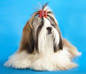 stock photo of dog breed shih-tzu  - dog breeds shih tzu - JPG