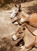 Donkey mule in s mediterranean olive tree field of Majorca Spain