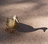Mallard Duck-Suzy