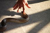 stock photo of king cobra  - Forefinger is intimidating over king cobra snake head - JPG