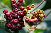 Unripe aronia berries (Aronia melanocarpa, Black Chokeberry) growing in the garden. Aronia berries b poster
