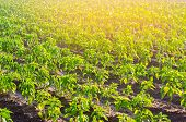 Vegetable Rows Of Pepper Grow In The Field. Farming, Agriculture, Eco-friendly Agricultural Products poster