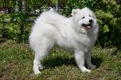 Samoyed Is Standing On A Green Meadow. Nenetskaya Laika Or Sledge Dog. Pet Animals. poster