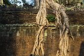 Tropical Tree In Stone Ruin Of Angkor Wat Complex, Cambodia. Aerial Roots Or Lianas Over Stone Wall. poster