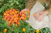 Farmer Showing Basket Full Of  Apricots poster