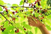 Female Hand Plucking Ripe Mulberry From Tree. Berries Of Mulberry. Mulberry Tree With Ripe Berries.  poster