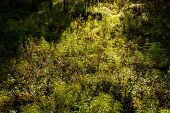 Fern (polypodiophyta) In A Deciduous Forest In The Sunbeams. Close Up Image poster