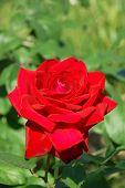 Red Rose On Branch In Garden