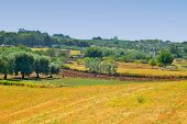 Summer landscape of the countryside in the Itria valley with olive trees and forage