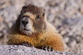 stock photo of marmot  - a yellow bellied marmot looks over a granite rock in the Sierra Nevada of California - JPG