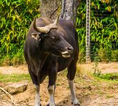 Closeup Portrait Of A Black Banteng Bull, Endagered Cattle Specie From Indonesia poster