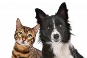 stock photo of collie  - Close up portrait of dog and cat in front of white background - JPG
