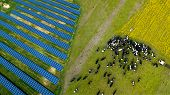 A Herd Of Cows Grazing Near A Solar Power Plant poster