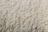 Sheep Wool