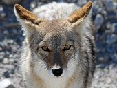 foto of coyote  - Coyote begging for food in Death Valley - JPG