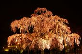foto of fukushima  - Illuminated cherry tree Nema is MiharuTakizakura Fukushima Japan - JPG