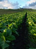 Cabbage Crops poster