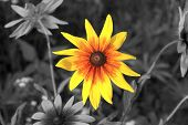 stock photo of yellow flower  - yellow flower in a black and white scene - JPG