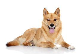 foto of laika  - Finnish spitz dog  - JPG
