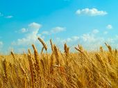 Ripened Wheat On A Background Of The Blue Sky