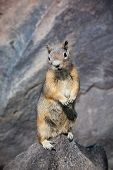 Cute ground squirrel begging for food
