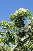 Myrtle Blumen