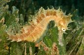 Thorny Seahorse in seagrass