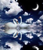 Dos cisnes blancos sobre fondo negro