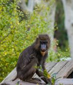 Mandrill sitting on a log