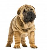 picture of shar-pei puppy  - Front view of Shar pei puppy looking away  - JPG