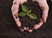 stock photo of fertilizer  - Hands holding sapling in soil surface - JPG