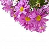 border of pink daisy  isolated on white background