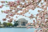 foto of thomas jefferson memorial  - Thomas Jefferson Memorial during cherry blossom festival in Washington DC United States - JPG