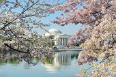 Washington DC, Thomas Jefferson Memorial während Cherry Blossom Festival im Frühjahr - USA