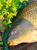 Постер, плакат: Ловли рыбы начало рыболовного сезона Сазан в рыболовный сачок