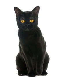 picture of american bombay  - Bombay cat sitting and looking at the camera - JPG