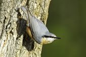 Sitta europaea / Eurasian Nuthatch in natural habitat - closeup