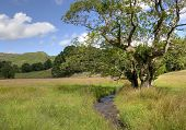 picture of alder-tree  - Common Alder tree by stream - JPG