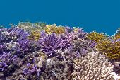 coral reel at the bottom of tropical sea with violet acropora corals on blue watter background