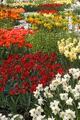 Ogres Full Of Colorful Flowers, Tulips And Hyacinths. Vertical.