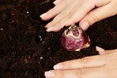 foto of humus  - Hand with flower bulbs on humus background - JPG