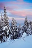 Winter landscape on a cold evening after sunset. Coniferous forest in the mountains under the snow
