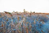 foto of goldenrod  - The frozen goldenrod in the winter sunrise